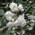 Crambe and roses