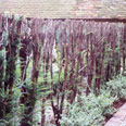 Renovation of yew hedging